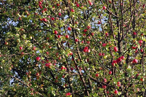 Яблоня. Урожай 2011 года.