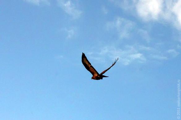 Второй канюк, показывающий лётные качества.