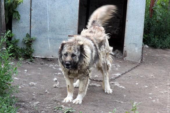 Собака с человеческим лицом в Протасово.