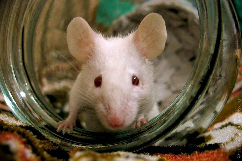 Меня зовут Друган, и я — белая мышь. Ну, почти.