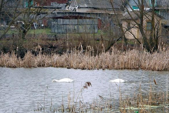 Лебеди в Малоархангельске.