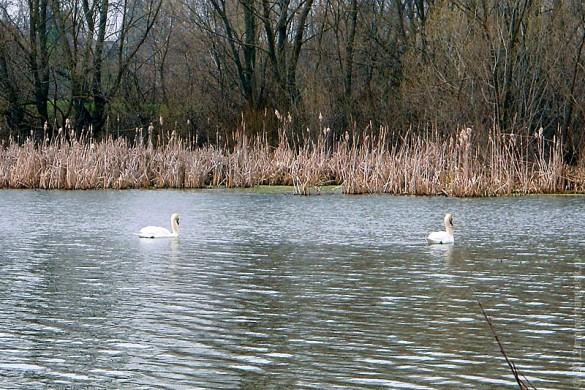 Лебеди на городском пруду Малоархангельска. Весна 2012 года.