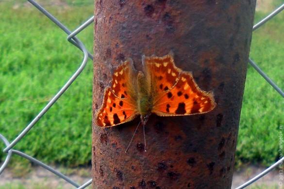 Бабочка, похожая на червонцa фиолетового.