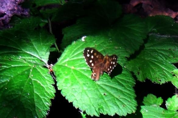 Другая неизвестная бабочка.