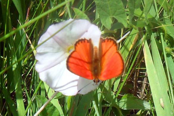 Червонец огненный (самец) — дневная бабочка из семейства голубянок.