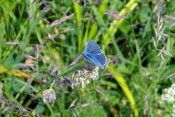 Бабочка голубянка.