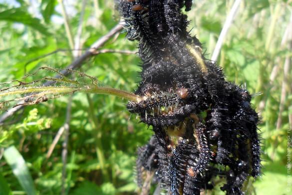 Гусеницы бабочки крапивницы.
