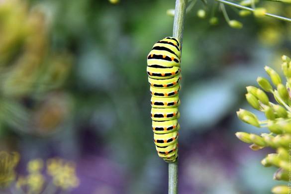 Гусеница бабочки махаон.
