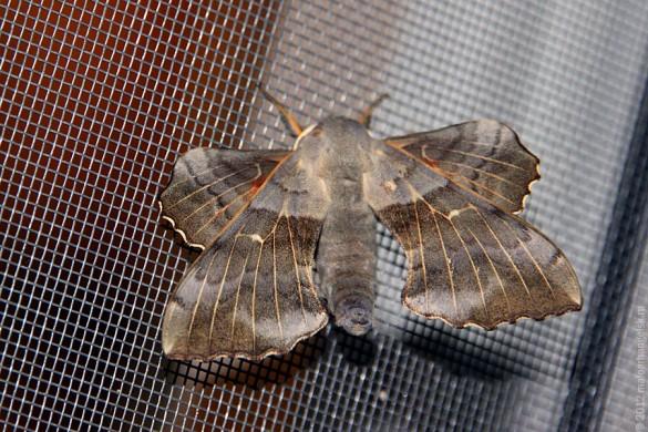 Ночная бабочка.