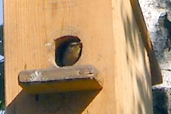 Из скворечника смотрит птица.