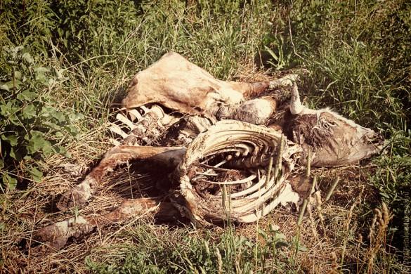 Мёртвая корова.