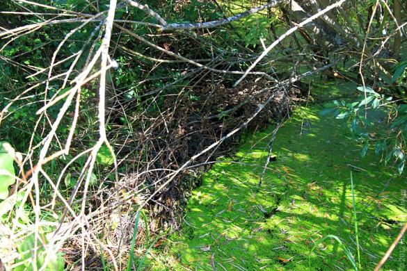 Бобровая плотина в Каменке.