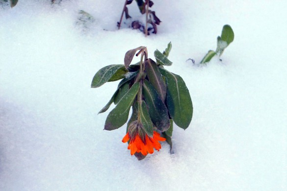 Цветок под снегом. Декабрь 2012 года.