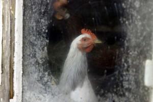 Курица за стеклом.