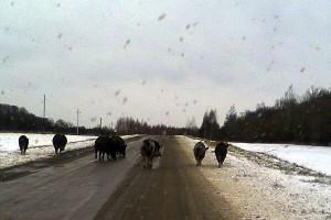 Поросячья семейка на дороге близ Каменки.