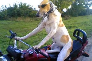Собака Маха на мотоцикле.