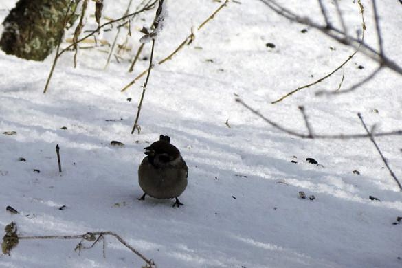 Зимний малоархангельский воробей.
