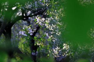 Цветущая вишня.