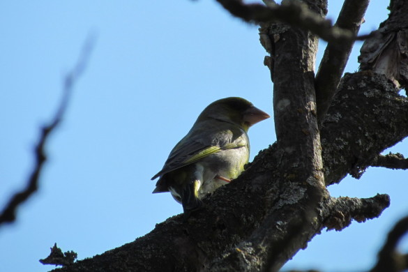 Птичка зеленушка.