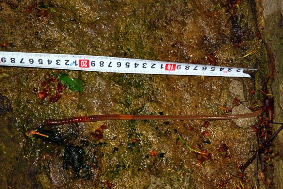 Длинный земляной червь.