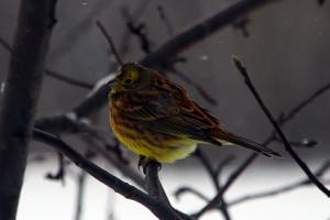 Овсянка — красивая и вкусная птица.