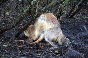 Мёртвая лиса.